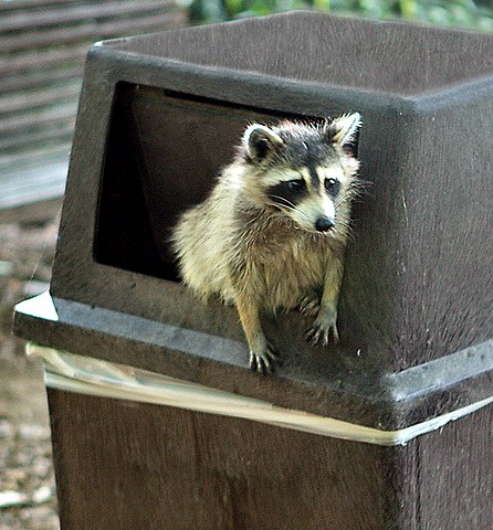A trash panda (raccoon in a trash can).
