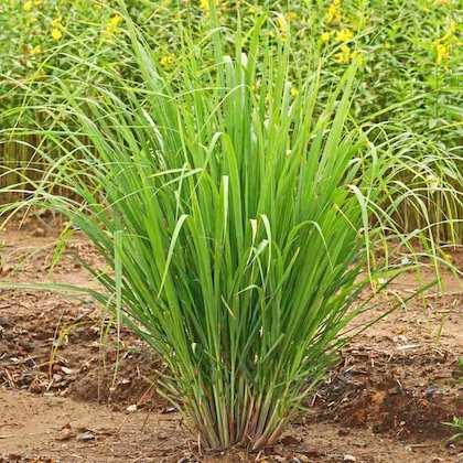A lemon grass plant.