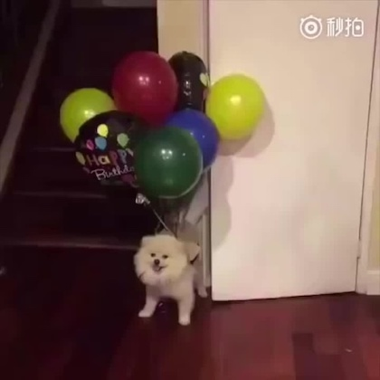 A picture of a dog with about 8 helium balloons attached to its body.