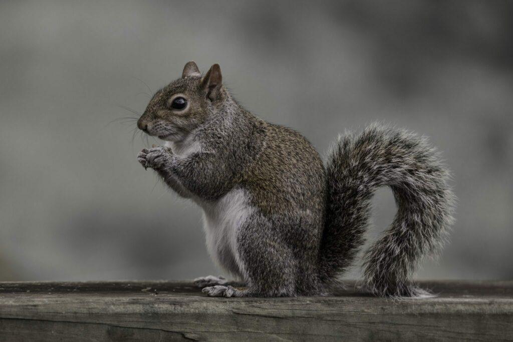 A grey squirrel.